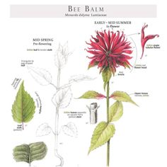 This gorgeous bee balm feature is a page from the landmark wild foods reference- Foraging and Feasting by Dina Falconi; illustrated by Wendy