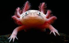 axolotl, uma salamandra mexicana