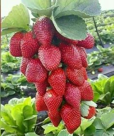 Image may contain: fruit, plant and food Strawberry Garden, Fruit Garden, Edible Garden, Fruit Plants, Fruit Trees, Fruit And Veg, Fruits And Vegetables, Fruit Fruit, Veggies
