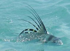 Rooster fish get to be huge, we're talkin 4 ft+. And you can fly fish for them off the beach in Mexico! I want to swim with one.