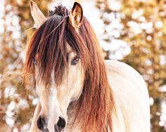 Midas - Welsh Cob Stallion print