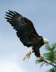 Bald eagle landing at branches Eagle Pictures, Sunset Pictures, Animals And Pets, Baby Animals, Spiritual Animal, Wings Like Eagles, Eagle Art, Native American Artwork, Eagle Wings
