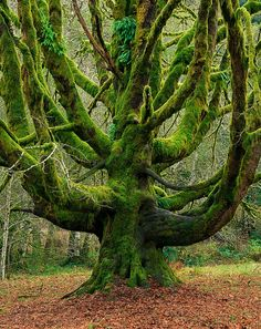 Spirit of the Ancient Forest-Lee Rentz. a moss covered tree.i could read in this tree forever. Mother Earth, Mother Nature, Weird Trees, Old Trees, Tree Logs, Unique Trees, Nature Tree, Nature Nature, Flowers Nature