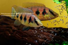 Red Jewel Cichlids: Photo des Tages - Hemichromis elongatus Paar
