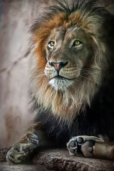 """""""Intelligence entails a strong mind, but genius entails a heart of a lion in tune with a strong mind. Lion Pictures, Animal Pictures, Beautiful Cats, Animals Beautiful, Animals And Pets, Cute Animals, Lion Of Judah, Small Cat, Wildlife Art"""