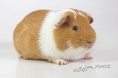 Lillyfoot Rassemeerschweinchen Glatthaar Meerschweinchen in Buff-Weiß. :o))