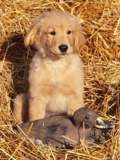 Golden Retriever Puppy with Decoy Duck Brown Puppies, Cute Puppies, Cute Dogs, Dogs And Puppies, Doggies, Puppy Care, Pet Puppy, Happy Puppy, Smiling Dogs