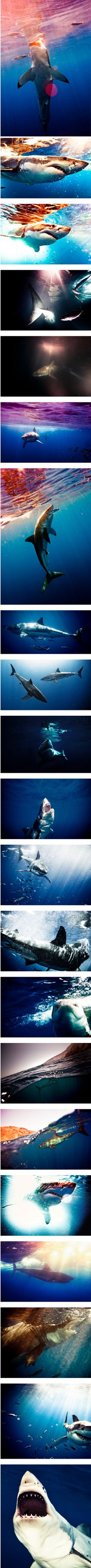 Sharks by Michael Muller amazing pictures of a great white. Most Beautiful Animals, Life Is Beautiful, Beautiful Creatures, Beautiful Images, Orcas, Save The Sharks, Shark Pictures, Beyond The Sea, Great White Shark