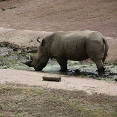 Neushoorn in GaiaZOO #visitzuidlimburg #familie_uitjes