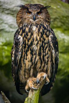 Eurasian Eagle-Owl by Rakesh Singh