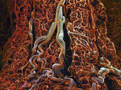 Vasos sanguíneos de la pared exterior del intestino delgado vistos con microscopio SEM y coloreados. Imagen de Susumu Nishinaga