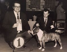 1972 Best Of Variety Westminster pit-bull terrier original Press Photo Dog Show