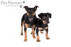 Hondenfotograaf Hillegom - fotoshoot voor twee Jack Russell Terriers