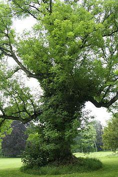 FREIXO- O freixo (Fraxinus angustifolia) é uma árvore da família das Oleáceas, a mesma família a que pertence a oliveira. É uma árvore de solos frescos e profundos, de porte médio, que pode atingir cerca de 25 metros de altura. A casca tem sulcos profundos, verticais e é castanha escura acinzentada. As folhas são verdes. As flores, que não têm cálice nem corola, são em cachos, pendentes e surgem antes do aparecimento das folhas