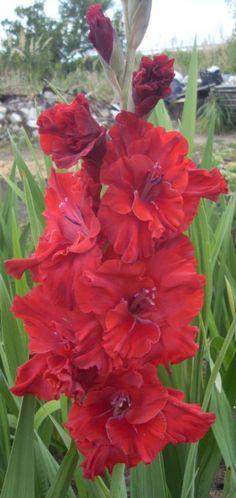 Gladiolus 'Heart Heat'