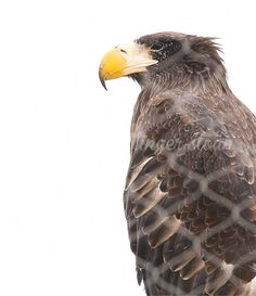 By jhs Toronto Zoo, Bald Eagle, Bird, Animals, Animais, Animales, Animaux, Birds, Animal