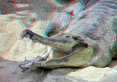 Alligator 3D  Crocodile