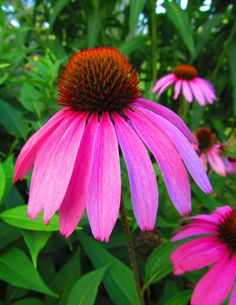 Purple Cone flower...You can never have too many purple flowers!  This one is my favorite!
