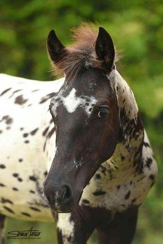Cute little Appaloosa foal. Leopard Appaloosa, Appaloosa Horses, Baby Horses, Wild Horses, Horse Pictures, Horse Breeds, Horse Art, Horse Racing, Beautiful Horses