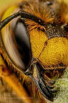 European Wool Carder Bee VI by dalantech