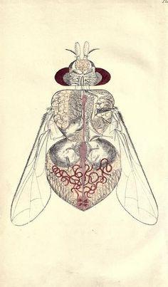 ANATOMY & PHYSIOLOGY |                The Blowfly