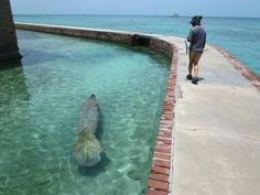 Manatee swimming at Dry Tortugas National Park in florida Florida Vacation, Florida Travel, Florida Keys, Florida Beaches, Vacation Spots, Backpack Through Europe, Dry Tortugas, Florida Adventures, Vero Beach