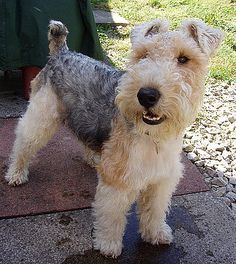 WIRE-HAIRED FOX TERRIER. We used to have a wirehair fox terrier... she was the sweetest dog. This IS a very charming example of the breed.