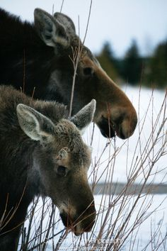 35 Best Moose Cow Calf Images On Pinterest