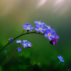 Forget-me-not (Myosotis) (NL: Vergeet-mij-nietje) | Flickr - Photo Sharing!