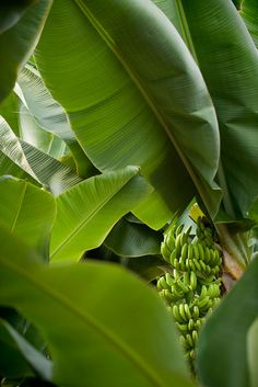 I get excited every time I see a banana tree with fruits in the wild...so organic, original :)