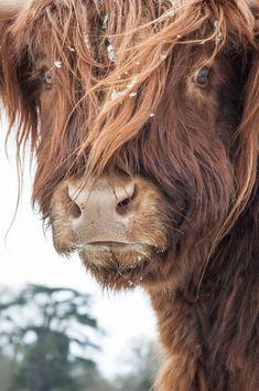 Hochlandrinder 5 Fine Art Photography Kuh von shortwork auf Etsy