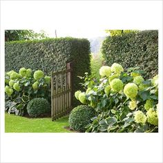 Hydrangeas in front of evergreen hedge