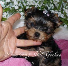 Terrier breeders bc