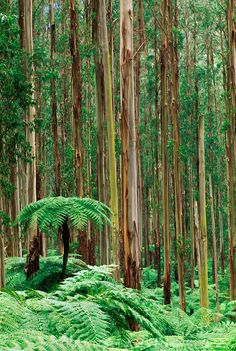 Tree ferns, Dicksonia antarctica, in eucalyptus forest, Ferntree Gully National Park, Australia