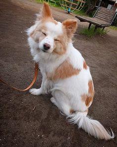 愛想笑い。とか?   #dog #inu #犬 #犬の麩