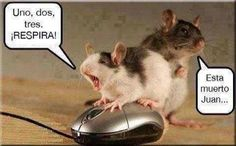 animal photo with funny caption ... mouse trying to revive a mouse .... ESTAR lesson ... #learn #spanish http://www.gorditosenlucha.com/