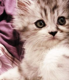 Cute Baby Cats, kitty, kitten, adorable, cute, nuttet, sweet, furry, fluffy, pet, big eyes, huggable, photograph, photo