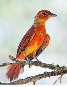 juvenile summer tanager        (photo by gary1844)