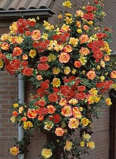 "Joseph's Coat Climbing Rose - Biblical Colored Blooms/Very Hardy - 4"" Pot"
