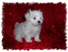 Beautiful Akc Champion Bloodline Maltese Boy and Girl