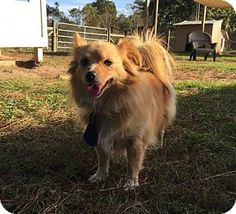 AllPaws is the fastest and easiest way to find a pet. Search over dogs, cats and other pets available for adoption nationwide to find your new best friend! Freeport Florida, Pomeranian Chihuahua Mix, Animal Shelter, Pet Adoption, Cute Dogs, Corgi, Puppies, Pets, Profile