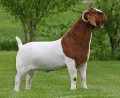 Alpacas, Cabras Boer, Goats For Sale, Female Goat, Feeding Goats, Goat Shelter, Goat Pen, Show Goats, Boer Goats