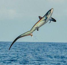 Shark Gif, Thresher Shark, Types Of Sharks, Photoshop Me, Nature Images, Nature Pics, Ocean Life, Marine Life, Sea Creatures