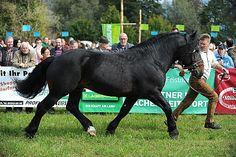 Noriker stallion Hochtor Schaunitz XVI