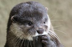 Otter Is in Suspense! — The Daily Otter Otters Cute, Baby Otters, Baby Sloth, Cute Kawaii Animals, Cute Little Animals, Adorable Animals, Animals And Pets, Baby Animals, Animal Babies