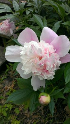Double Frilly Peony