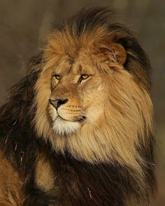 Tap 💜 if you love this 💜 Lion Images, Lion Pictures, Animal Pictures, Beautiful Lion, Animals Beautiful, Animals And Pets, Cute Animals, Lion Photography, Lions Photos