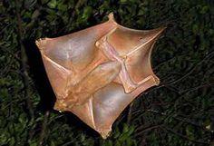 """Lemur volador,  Lo creas o no, es el """"pariente"""" terrestre más cercano de los primates sin llegar a ser uno. También se les llama Colugos, y fuera de los murciélagos, son los mamíferos más altamente adaptados para el vuelo. Como se puede ver en la foto, sus extremidades y la cola están conectados en los extremos por colgajos de piel, lo que aumenta su superficie y hace que estos planeadores """"vuelen"""" más."""