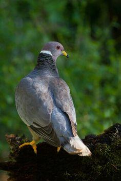 Band-tailed Pigeon (Patagioenas fasciata)