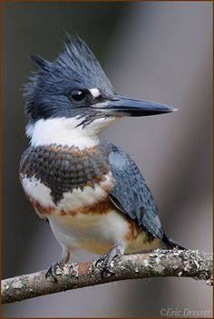 Belted Kingfisher If you ever get a chance to watch one of these feisty little birds fish, do it! Pretty Birds, Beautiful Birds, Animals Beautiful, Cute Animals, All Birds, Little Birds, Love Birds, Exotic Birds, Colorful Birds